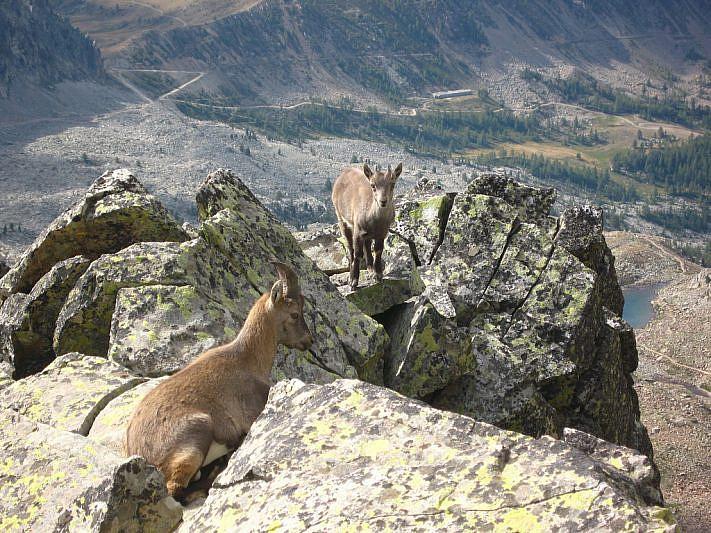Stambecchi sulle rocce poco sotto la cima