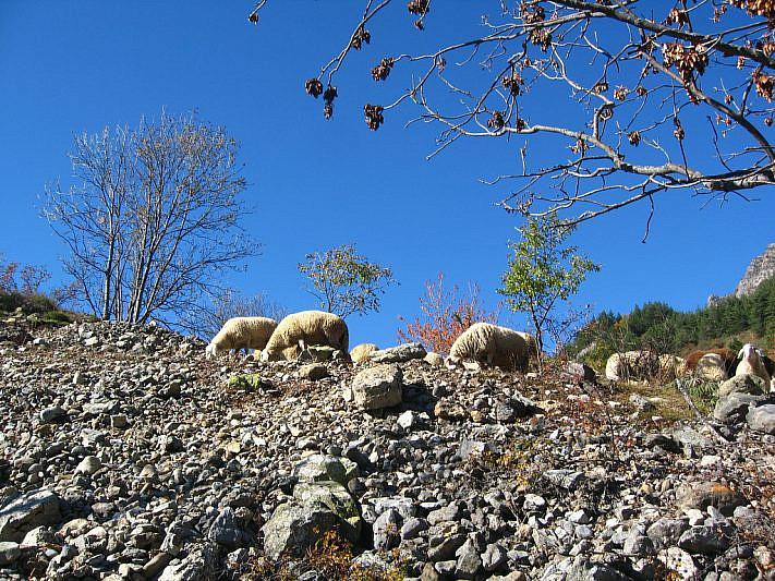 Le pecore che danno il nome al percorso