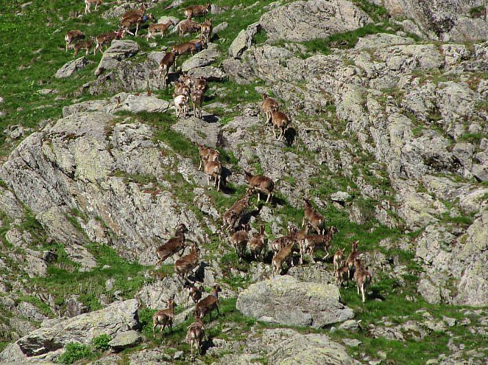 Parte del branco di mufloni in ritirata