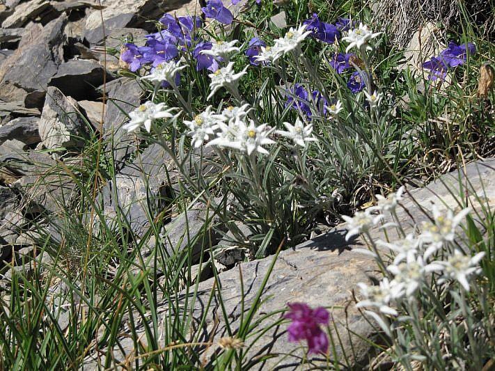 Ciuffi di stella alpine tra campanule alpestris