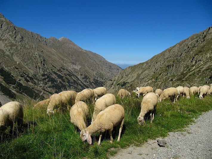 Gregge di pecore al pascolo sulla via del ritorno