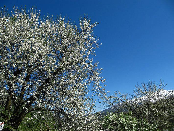 Alberi in fiore con, a destra, la Bisalta