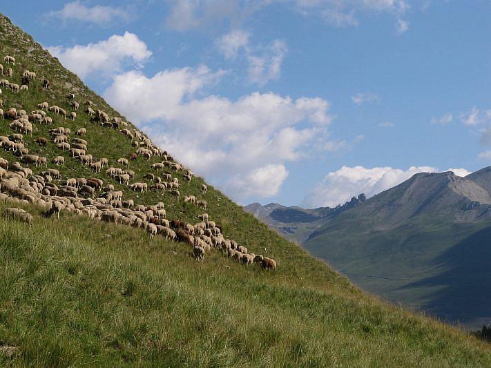 Gregge di pecore sul lato sinistro orografico