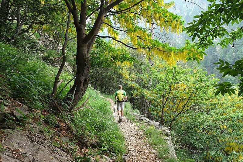 Sul sentiero di salita sotto cascate di maggiociondoli (laburnum anagyroides)