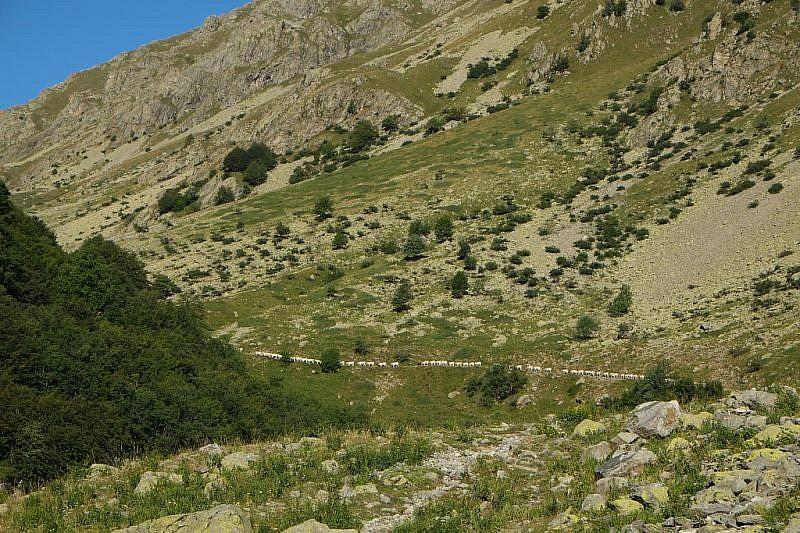 La mandria di mucche in salita verso l'avvallamento superiore