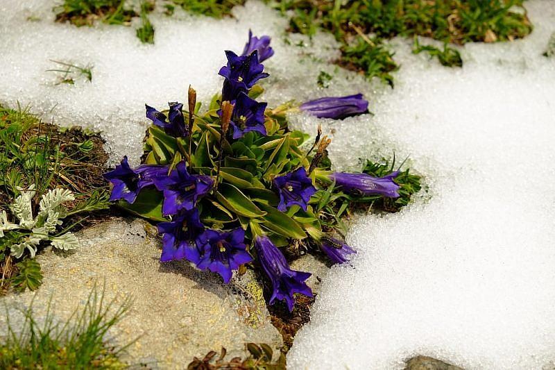 Genzianelle tra la neve