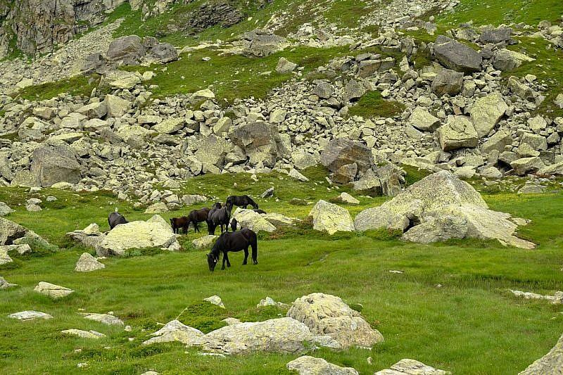 Cavalli di razza merens al pascolo poco sotto il Colle di Luca