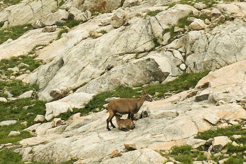 Mamma di stambecco che allatta il piccolo