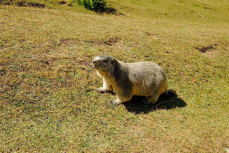 Grossa marmotta di fianco alla sterrata