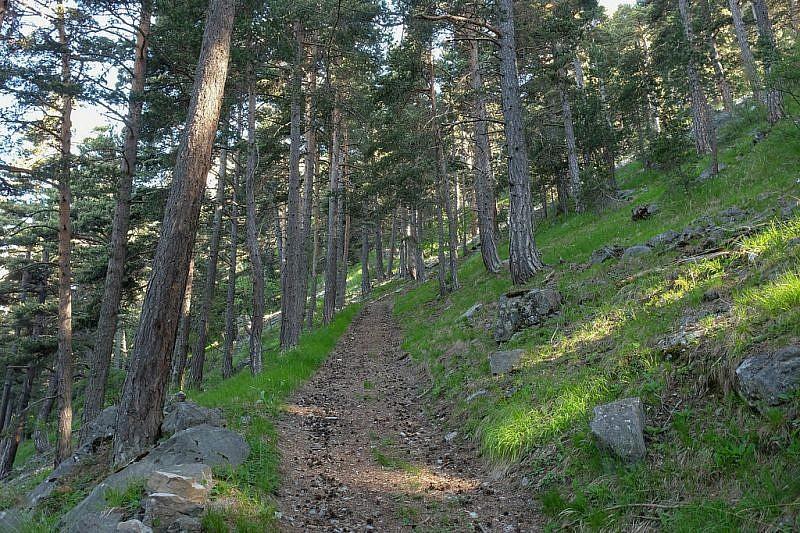 Il percorso si addentra tra pini silvestri e abeti