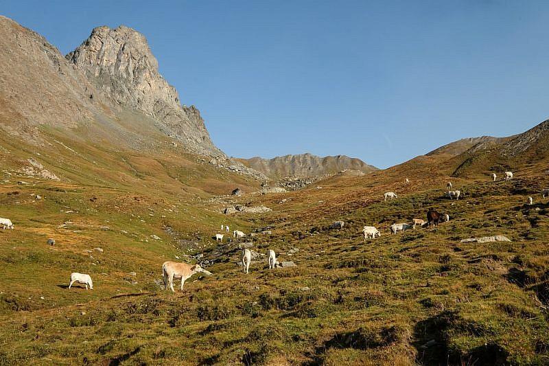 Mucche al pascolo nel vallone Blancetta
