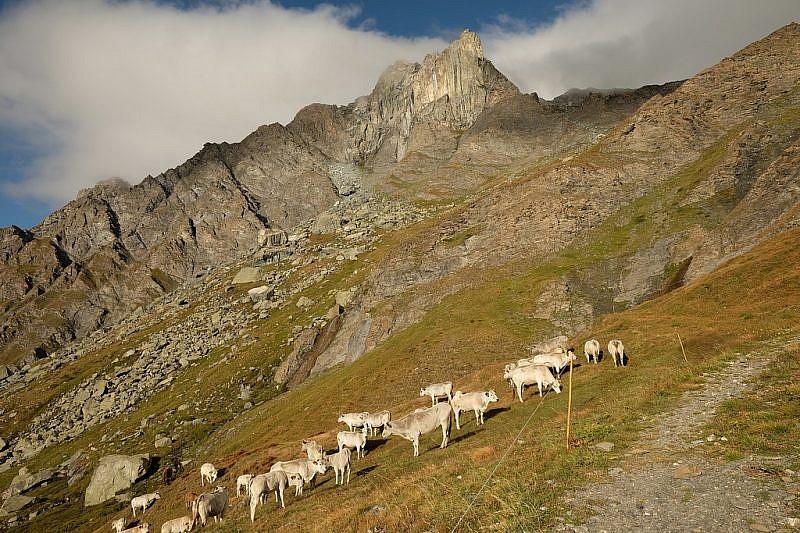 Mucche al pascolo con la Rocca Bianca sullo sfondo