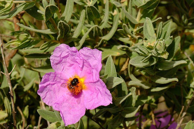 Fiore di Cistus albidus