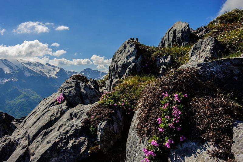 Fiori tra le rocce di cresta